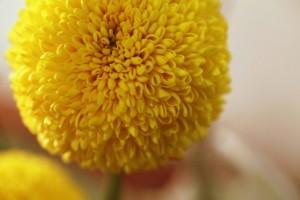 ポンポン菊の写真