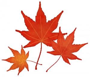 赤く染まった三枚のカエデの葉のイラスト