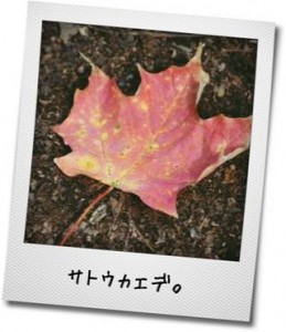 赤く染まったサトウカエデの葉の写真